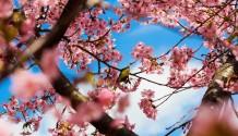 The Sakura And The Bird