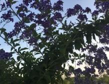 Spring In Purple