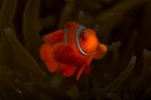 SPINE-CHEEK ANEMONE FISH