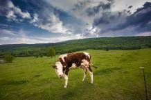 البقرة الفرنسية