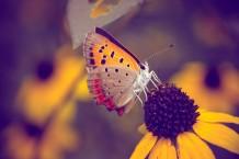 الفراشة العتيقة