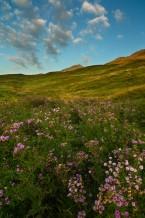أزهار الجبل