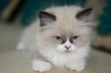 القطة الحزينة