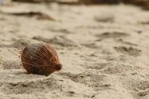 جوزة الهند على الشاطئ