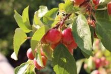 غصن الفاكهة