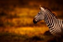Masai zebra