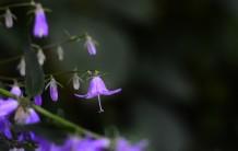bluish purple