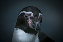 penguin portrait