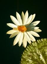 زهرة الشمس المشرقة