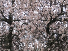Roses Tree