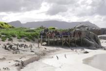 شاطيء البطاريق في كيب تاون