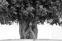 الشجرة الماشية