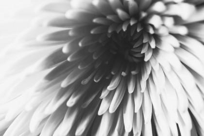 وردة بيضاء